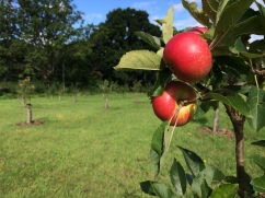 apples-and-orchard-img_4374-1