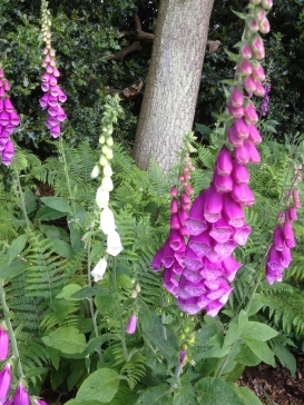 foxgloves-img_0817