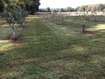 Freshly mown orchard