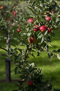 orchard-red-apples_mg_0520