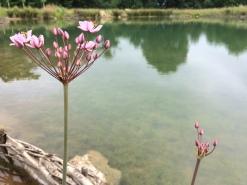 Flowering Rush - Butomus umbellatus
