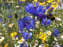 Bumble bee on cornflower