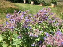 Borage for the bees!