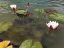 Water lilies 'Hollandia'