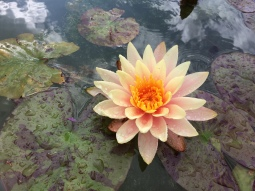 A copper water lily