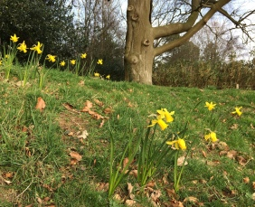 Newly planted daffodils in flower