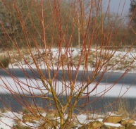A touch of colour - Willow 'Britzensis'