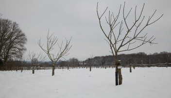 Cold looking orchard