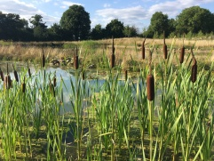 Bulrushes maturing in the pond