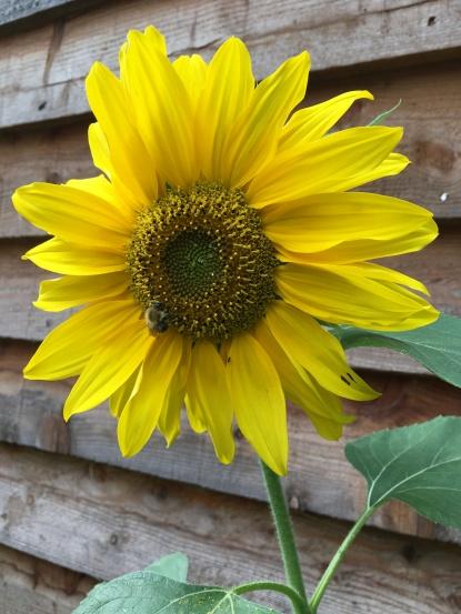 Sue's sunflowers!