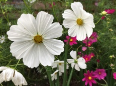 Cosmos provided a lot of cheer in the garden this year