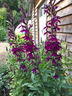 The intense colour of perennial lobelia