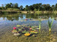 Water lilies on a lovely summer day