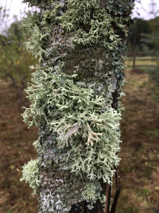 We must have quite clean air! - lichen needing clean air to thrive