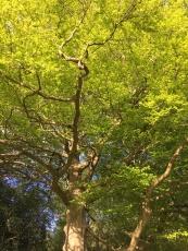 The Corner Beech Tree looking bright!