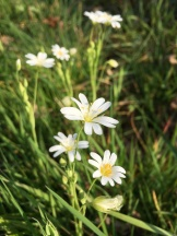 Stitchwort growing wild in the woodland