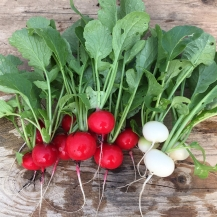Radishes 'Prinz Rotin' (red) and 'Ping Pong' (white)