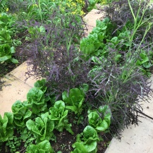 Salad crop - Lettuce 'Winter Density', Red Mustard and Mizuna
