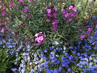 Perennial wallflowers and forget-me-nots