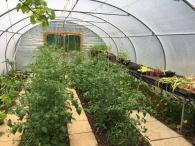 Inside polytunnel June 2020